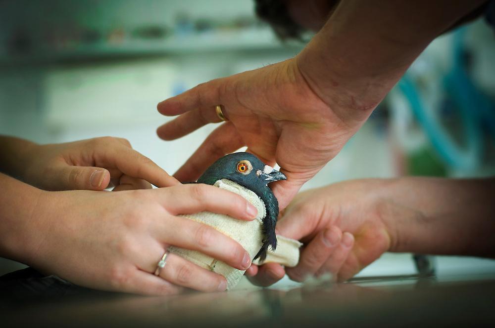 A pigeon receives treatment, Arnwood Veterinary Clinic, Nottingham, England, UK.