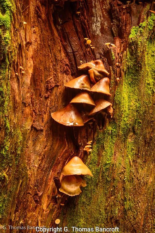 Mushrooms contrast with the red wood of a cedar snag.
