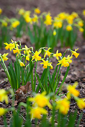 Narcissus 'Tete-a-Tete'' AGM in the Winter Garden at Dunham Massey