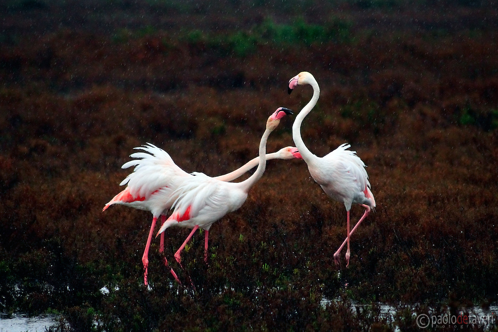 Two flamingos chasing an intruder off their pond. Taken in the marshes around the Etang de Vaccarés in Camargue, France, under some pouring rain. .