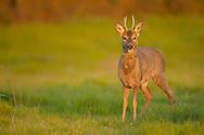 Western Roe Deer (Capreolus capreolus) male in grazing pasture, Norfolk, UK.