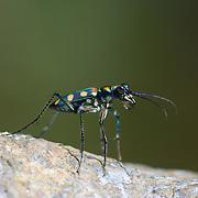 Tiger Beetle (Cosmodela aurulenta juxtata) in Chaloem Phrakiat Thai Prachan National Park, Thailand.