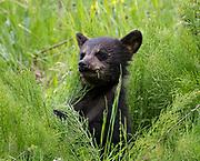 Black Bear (Ursus americanus) cub eating hosetails (Equisetum arvense), Arctic Valley.