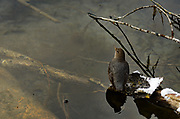 American dipper foraging on a pond along the Yaak River in late fall. Yaak Valley in the Purcell Mountains, northwest Montana.