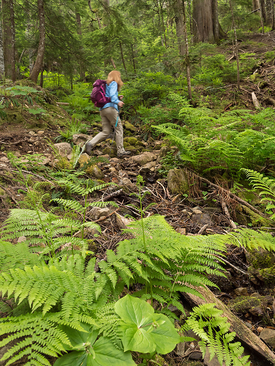 United States, Washington, Bellevue, woman hiking in Coal Creek Natural Area forest and sword ferns