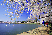 Image of the Potomac River in spring with cherry blossoms in Washington DC, American Northeast, model released
