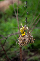 Southern Masked Weaver working on his nest in Kruger National Park, South Africa.