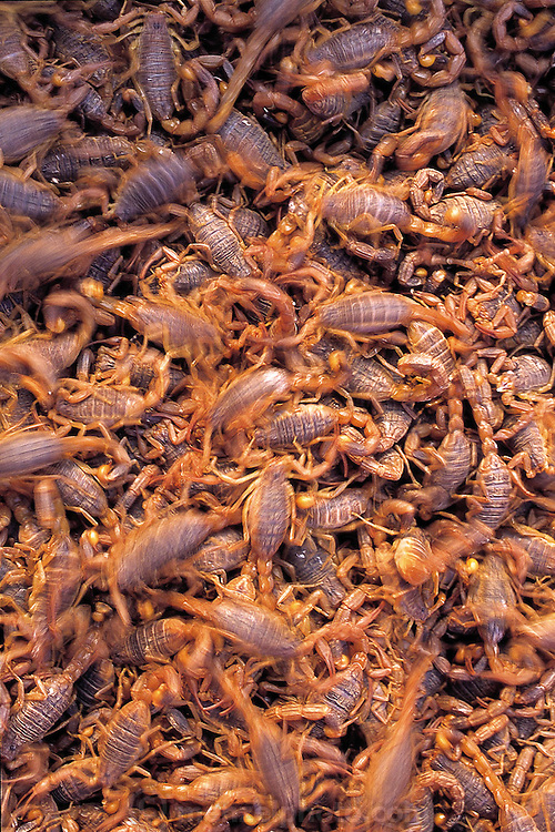 Swarming scorpions, members of Fan Yuelian's family business; the scorpions are raised in the family's apartment in plastic bins and are intended for sale in the city's Bird and Flower Market. (Man Eating Bugs page 97)