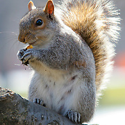 Squirrel lunch on tree branch, New York, United States (March 2005)
