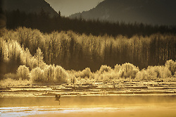 A bald eagle (Haliaeetus leucocephalus) flies with a salmon carcass past ice covered trees sparkling in the golden light of sunrise at the confluence of the Tsirku and Chilkat Rivers in the Alaska Chilkat Bald Eagle Preserve. During November and December several thousand bald eagles come to the alluvial delta area at the confluence of the Tsirku and Chilkat Rivers near Haines, Alaska because of the availability of spawned-out salmon and open waters. The open water is due to a deep accumulation of gravel and sand that acts as a large water reservoir whose water temperature remains 10 to 20 degrees warmer than the surrounding water temperature. This warmer water seeps into the Chilkat River, keeping a five mile stretch of the river from freezing as quickly as other rivers in the area. The 48,000 acre area was designated as the Alaska Chilkat Bald Eagle Preserve in 1982.