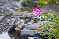Lewis' monkeyflower (Mimulus lewisii) over a creek in the Mt Jefferson Wilderness Area of the Cascades