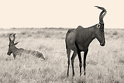 Easy to be inspired by elephants, giraffes and even leopards, but when seen in isolation, even herd animals display characters of their own.<br /> <br /> This Red Hartebeest hardly batted an eye-lid as we pulled up nearby, and she just looked so forlorn. I wanted to give her a hug!