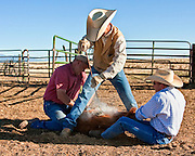 Scotty Hall, manager of the North Pueblo Ranch in Colorado, applies the brand to a calf.