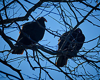 Turkey Vultures in a tree. Image taken with a Fuji X-T2 camera and 100-400 mm OIS lens (ISO 200, 190 mm, f/6.4, 1/850 sec)
