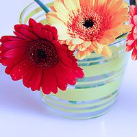 Three gerbera daisies in vase against white-blue background.