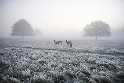 © Licensed to London News Pictures. 08/11/2019. London, UK. Deer graze in a frost covered landscape at Richmond Park in west London on a bright Autumn morning. Parts of the north of England have experienced severe flooding following torrential rainfall. Photo credit: Ben Cawthra/LNP