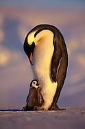 Emperor penguin parent with chick, Aptenodytes forsteri, Weddell Sea, Antarctica