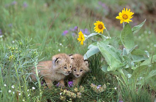 Canada Lynx, (Lynx canadensis) Montana. Kittens among Arrowleaf Balsamroot flowers. Spring. Captive Animal.