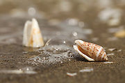 Cone shell. Shell of a Mediterranean cone snail (Conus ventricosus) on the beach. Cone snails are highly venomous, predatory, marine gastropods that capture their prey using a long, harpoon-like, modified tooth (radula). The harpoon is launched out of the mouth on an extendable proboscis, and injects a powerful neurotoxin (venom), which instantly paralyses the victim. The sting of small cones is not fatal to humans, but that of some of the larger, tropical species, such as the Textile cone (Conus textile), can be. Some cone snail neurotoxins (conotoxins) have pain relieving properties that may provide a non-addictive painkiller (analgesic), 1000 times as powerful as morphine.
