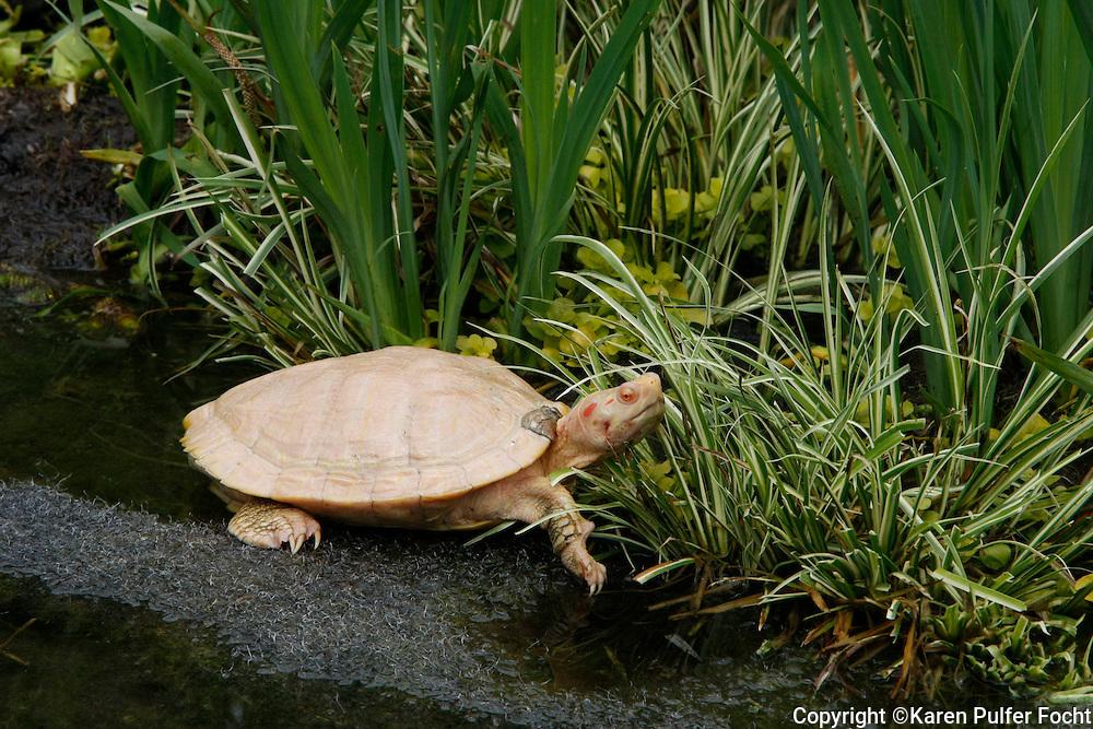 Albino Turtle, Memphis Zoo,