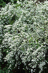 Spiraea x arguta - Bridal wreath, Foam of May