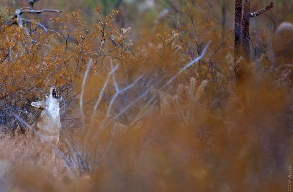 FALL IN THE DESERT | Female coyote (Canis latrans) howls in November rain. Sonoran Desert, se. Arizona.