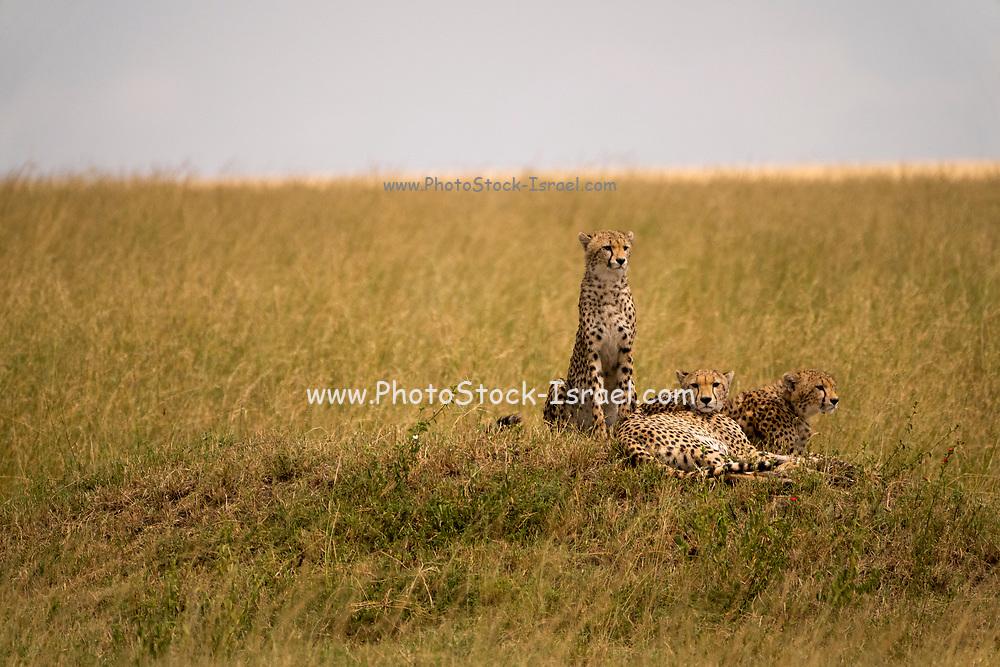 Cheetah (Acinonyx jubatus) resting in the grass, A swarm of flies harass her