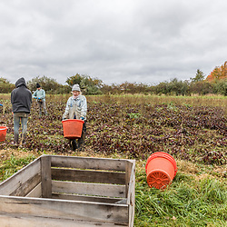 Farm workers harvest beets on a farm on Kinney Hill in South Hampton, New Hampshire.