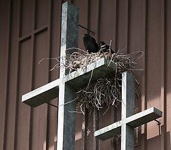 A pair of common ravens nest in the crook of one of the crosses on the Plymouth United Church of Christ, Tuesday, May 16, 2017, in Oakland, Calif. (Photo by D. Ross Cameron)