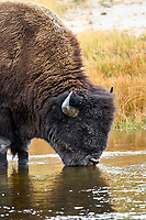 American Bison (Bison bison) drinking from river, Yellowstone National Park, Wyoming, USA   Photo: Peter Llewellyn
