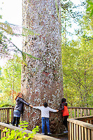 The huge Kauri trees of the Waiau Falls Scenic Reserve are a popular spot for visitors to the Coromandel Peninsula on the North Island of New Zealand