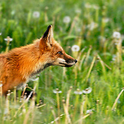 Vixen fox concentrates on an interloper near her den, near University Park, Denver, Colorado.
