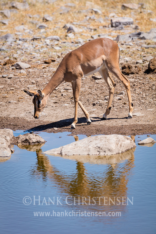 A black-faced impala is reflected in the still water of a waterhold, Etosha National Park, Namibia.