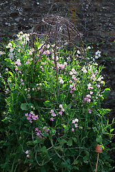 Lathyrus odoratus 'Bouquet Pink'. Sweet peas growing up a birch support in the trials bed at Parham House