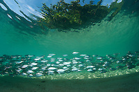 Oxeye Scad schooling in the shallows<br /> <br /> Shot in Indonesia