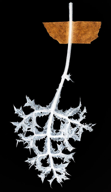 dead and dried wild thistle leaf