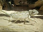 Chameleon in the Mitzpe Ramon reptile park