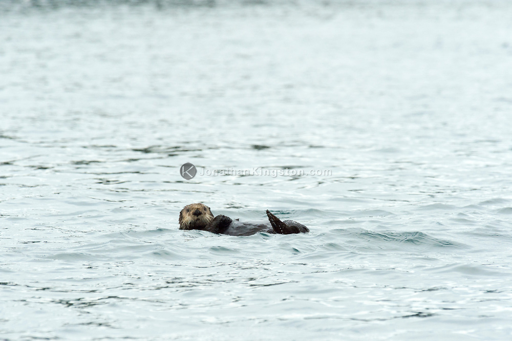 Sea otter (Enhydra lutris) in the waters near Glacier Bay National Park, Alaska.