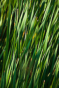 Reeds on Lake Huron.