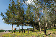 Israel, Negev, Pine tree forest planted by KKL