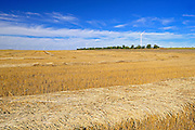 Wheat field<br /> Rosenhof<br /> Saskatchewan<br /> Canada