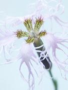Dianthus superbus - fringed pink