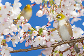 Silvereye Pictures - Photos