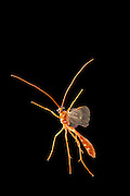 A red Ichneumon Wasp (Ichneumonidae)<br /> (Subfamily Ophioninae) is photographed by a high-speed camera on a warm night in Central Texas.