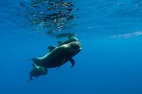 Short-finned pilot whales underwater (Globicephala macrorhynchus) in Canary Islands, Spain, Europe.<br /> Atlantic ocean