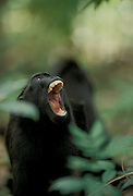 Celebes / Black / Sulawesi crested macaque (Macaca nigra} yawn display. Sulawesi, Indonesia