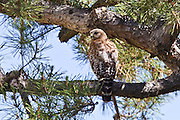 Red-shouldered Hawk, Southern California