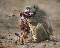 Chacma Baboon feeding on a young Impala in Okavango, Botswana