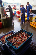 Boxes of Scottish shrimp lies on the ground in at Tarbert, Mull of Kintyre, Argyll & Bute, Scotland UK. The boxful of freshly-caught shrimp has been landed on the quayside of this quiet community in the western Isles. The trawlermen fish around the Scottish western isles on the edge of the Atlantic in a well-maintained boat that helps him make his livelihood dependent of fisheries policy and EU quotas that dictate how much they're allowed to catch per day/per week.