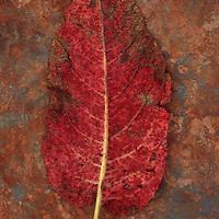 Back of single red leaf turning brown of Broad-leaved dock or Rumex obtusifolius lying on rusty metal